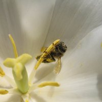 Пчела. :: Андрей