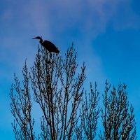Цапля на дереве :: Василий Игумнов