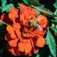 Пчёл :: Анечка Счастливая