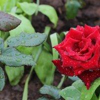 уральская роза :: Юлия Шелепова