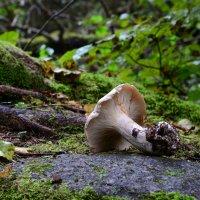 Mushroom on the rock :: Дмитрий Каминский