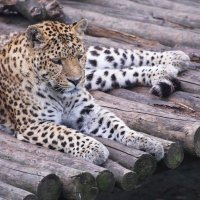 Леопард :: Маргарита Лапина