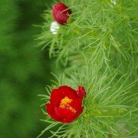 Аленький цветочек :: Ольга Шарко