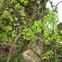 Обнимая камень крепкими корнями... :: Александр