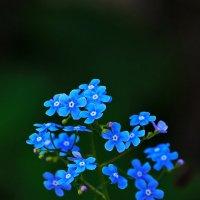 синева цветущая :: gribushko грибушко Николай