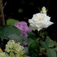 Цветы_032 :: Владимир Кроливец