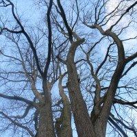 Старые деревья :: ЕЛЕНКА Литвиновская