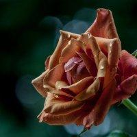 роза :: Сергей Борденов