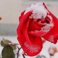 Роза в декабре... :: Александр Герасенков