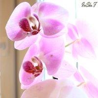 Нежные цветы :: Irene Farkh