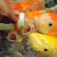 голодные рыбки :: Екатерина Овчаренко