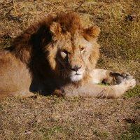 реальный царь зверей :: Андрей Козлов
