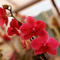 Орхидея :: Anna Minevich