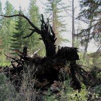 Перевернутое дерево :: Ольга Иргит