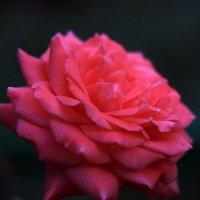 Rose :: Eugene Volkov