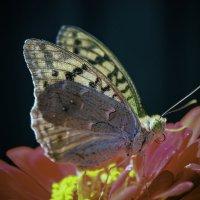 Butterfly :: Eugene Volkov