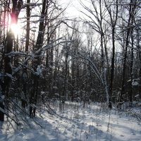 зима в лесу :: Елена Шидловская