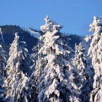 Болгарские елки :: Григорий Миронов