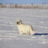 Зимняя собака :: Наталья Калашникова