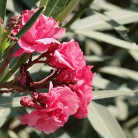Розовая красота :: Оксана Шрикантх