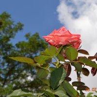 Роза ,королева цветов !!! :: Юлия Каленюк