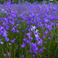 полевые цветы :: Михаил Корнев