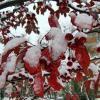 Первый снег, яблочки недзвецкого :: veera (veerra)