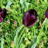 Три фиолетовых тюльпана :: Михаил