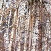 Светлый лес :: Tanja Gerster