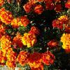 Солнечные цветы в октябре :: татьяна