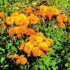 Раскрыли глазки хризантемы! :: Александр Куканов (Лотошинский)