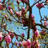 "Белка на магнолии: "" А какая она на вкус, эта весна?"" :: Nina Yudicheva"