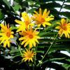 Солнечные цветы :: Нина Бутко