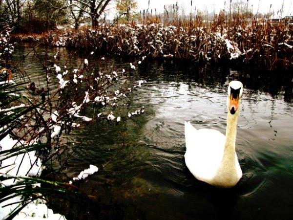Цветная фотография или черно-белая – лебедь в цвете