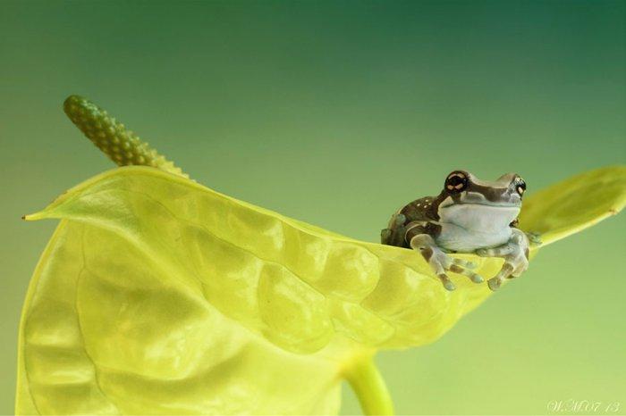 Заманчивый мир лягушек в макрофотографии Уила Мийера - №6