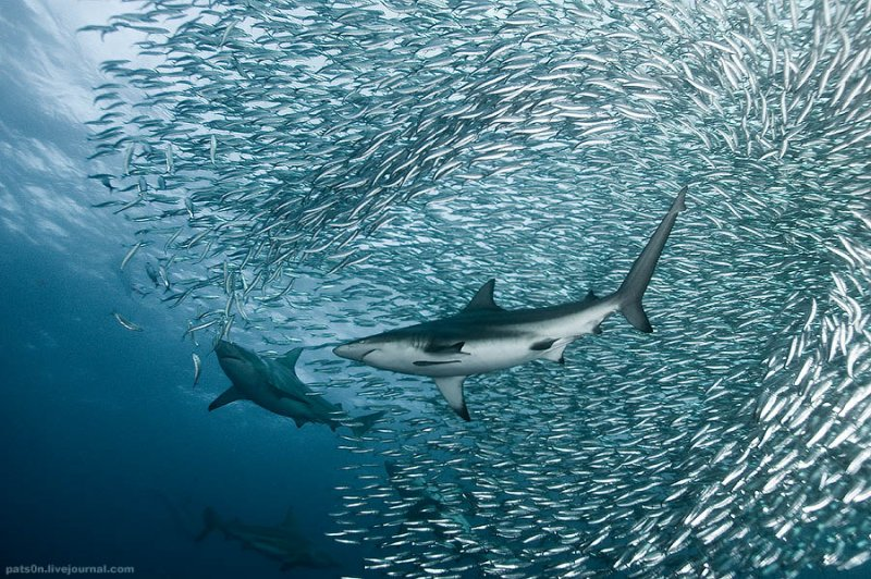 Потрясающие подводные фотографии Александра Сафонова - №7