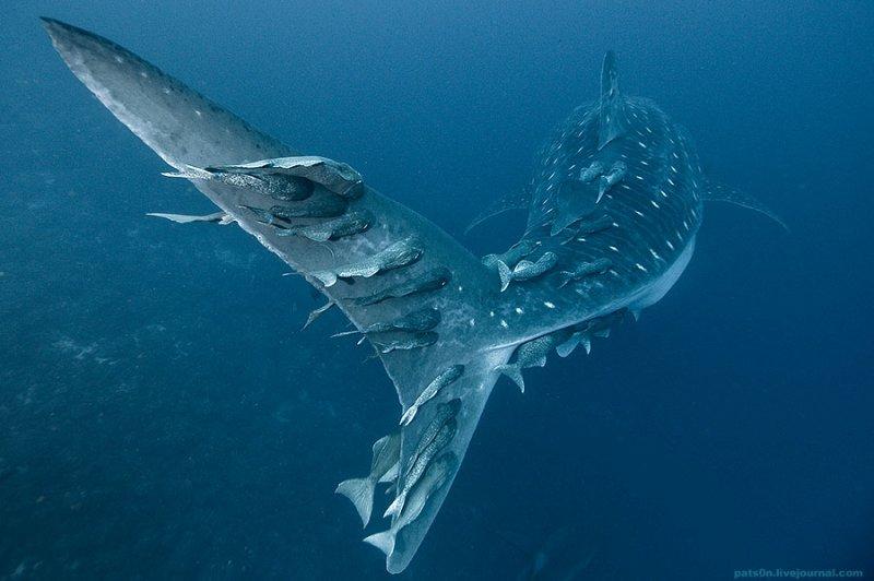 Потрясающие подводные фотографии Александра Сафонова - №15