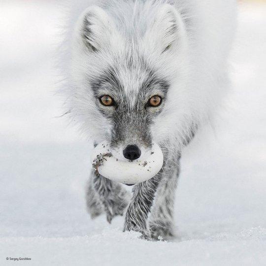 Автор фото: Сергей Горшков. «Арктическое сокровище»