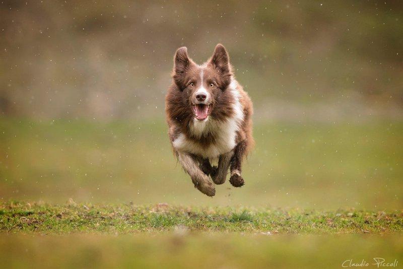 Собаки в фотографиях Клаудио Пикколи - №13