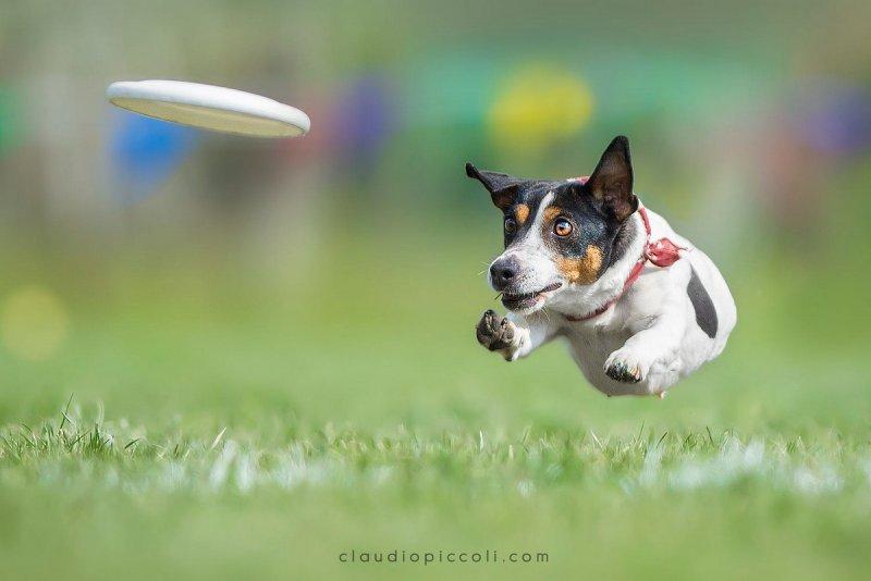 Собаки в фотографиях Клаудио Пикколи - №16