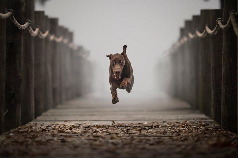 Собаки в фотографиях Клаудио Пикколи - №23