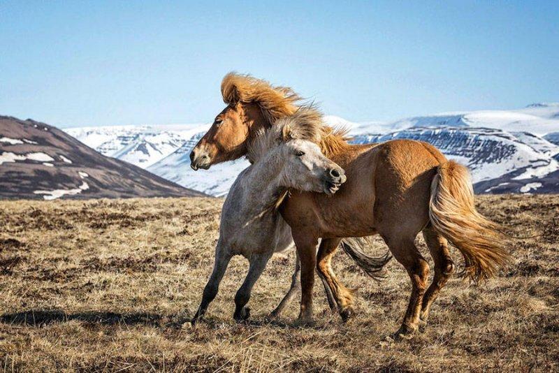 Дикие лошади Исландии - №3