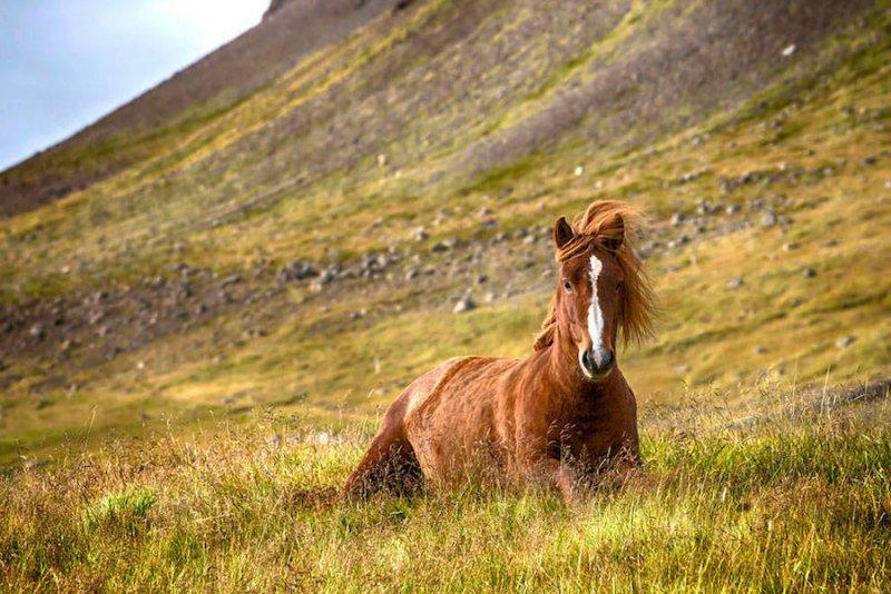 Дикие лошади Исландии - №5
