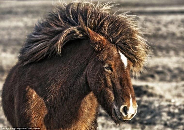 Дикие лошади Исландии - №11
