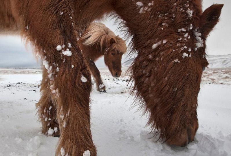 Дикие лошади Исландии - №10