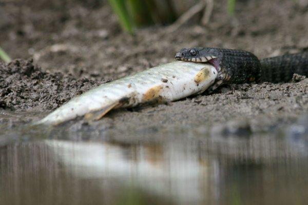 Змеи-рыболовы в интересной фото истории - №2