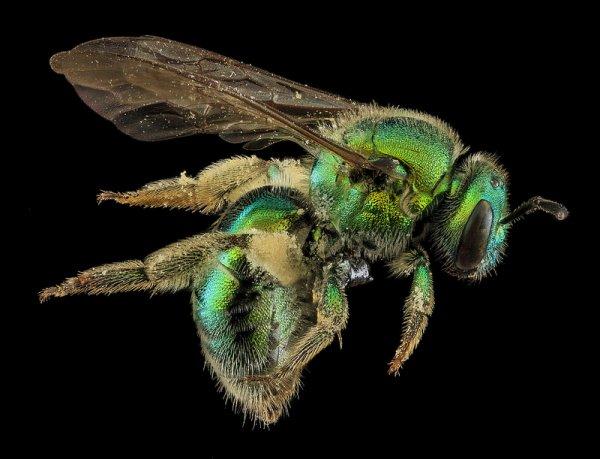 Сэм Дроедж (Sam Droege). Макро фото из среды обитания пчел - №1
