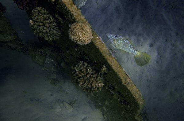 Рыба-напильник[1]