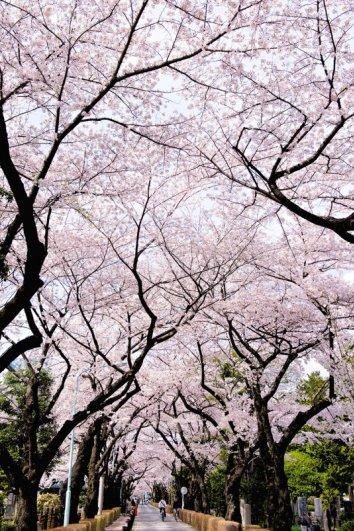 Самые красивые фотографии цветения сакуры - №2