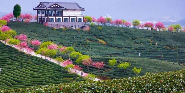 Самые красивые фотографии цветения сакуры - №10